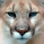Cougar puma mountain lion