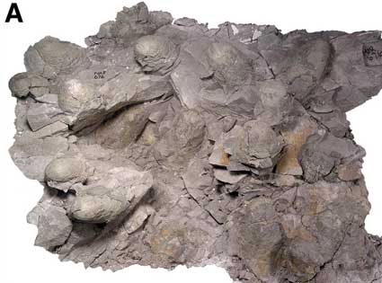 Troodon dinosaur nest from Montana