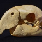 macaw-skull-featured