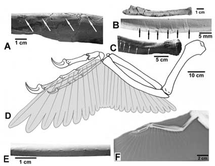 dakotaraptor-dinosaur-bird-wings