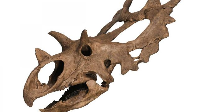 Horned-dinosaur-skull-from-Montana-featured