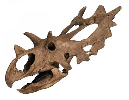 Horned-dinosaur-skull-from-Montana