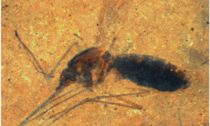 Fossil mosquito