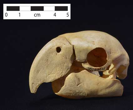 macaw skull from Pueblo Bonito, Chaco Canyon